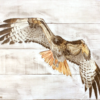 Keith Moore - Red Tail Hawk in flight